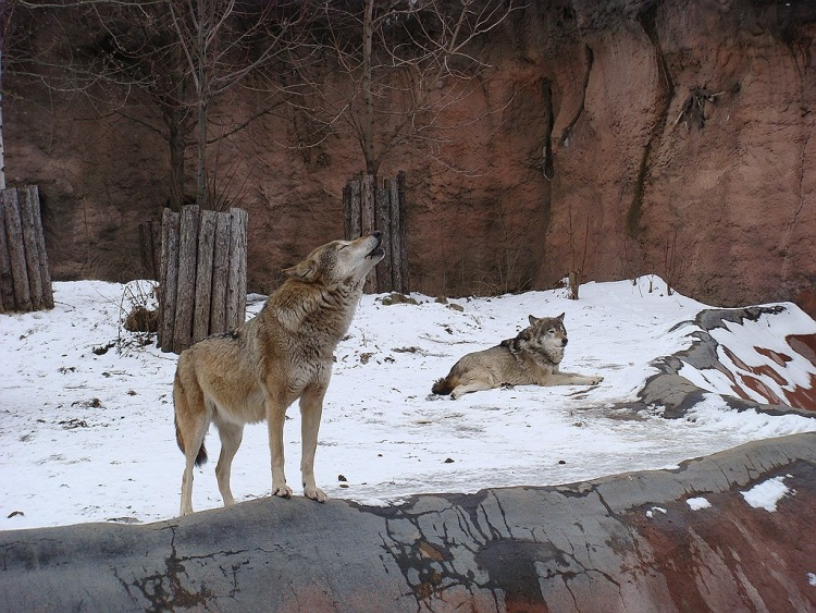 знакомства волчата